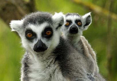 Bristol Zoo Gardens: Ring-tailed Lemur with baby